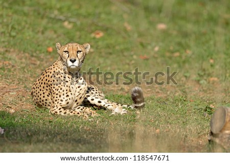 Female cheetah (Acinonyx jubatus) relaxes while laying in the grass - looking at viewer.