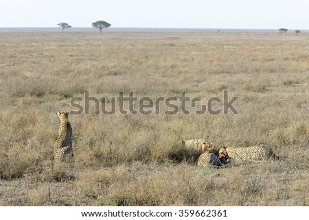 Female Cheetah (Acinonyx jubatus) surveying the plain for danger while her three cubs feed on a gazelle, Serengeti national park, Tanzania. - stock photo