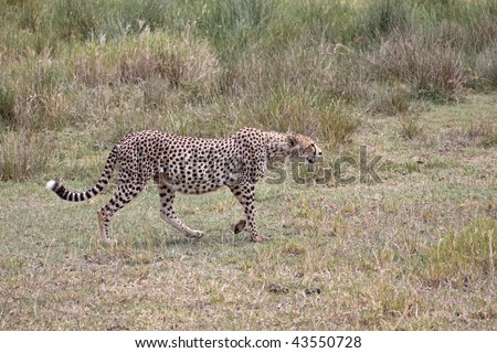 Female cheetah approaching a herd of (out of shot) Thomson's gazelle in the Serengeti, Tanzania. This particular cheetah appears to be quite heavily pregnant - stock photo