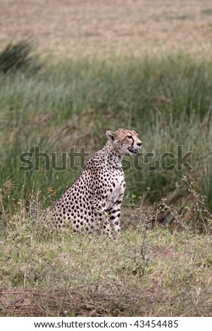 Female cheetah in the Serengeti national park watching a herd of (out of shot) Thomson's gazelle - stock photo