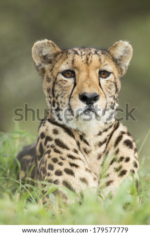 Female Cheetah looking ahead South Africa - stock photo