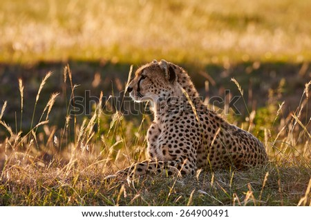 Female cheetah lying in the grass, photographed in backlight - stock photo