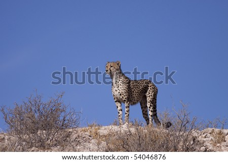 Female cheetah on the lookout for prey in South Africa - stock photo