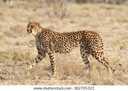 Female cheetah on the lookout in. Shallow depth of field with room for text. - stock photo