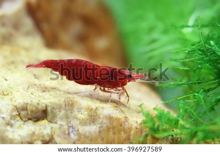 Female cherry shrimp in a planted aquarium