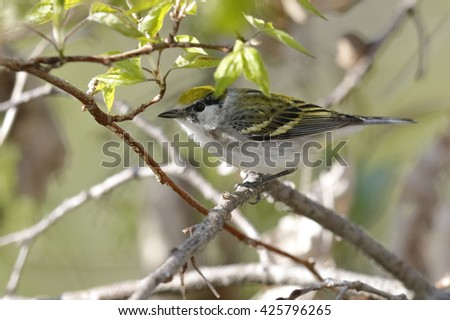 Female Chestnut-sided Warbler (Setophaga pensylvanica ) perched in a shrub in spring - Ontario, Canada - stock photo