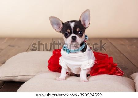 Female chihuahua dog sitting on pillows - stock photo