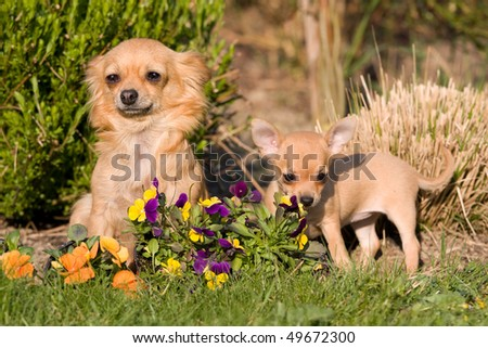 Female Chihuahua with nice puppy