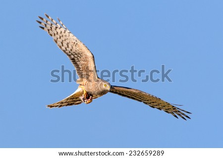 Female Cinereus Harrier (Circus cinereus) screaming in flight with a dead bird caught between its claws. Patagonia, Argentina, South America. - stock photo