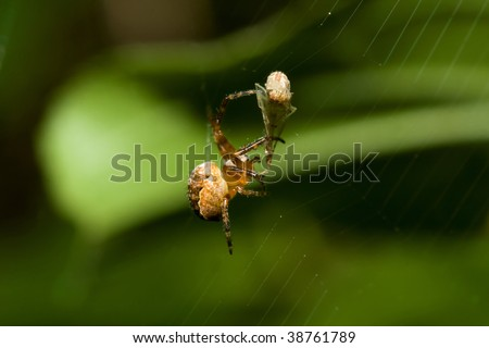 Female Cobweb Spider catching it's next meal.