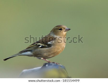 Female Common Chaffinch (Fringilla coelebs) on a fence, UK