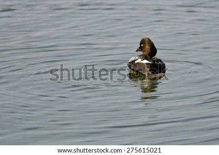 Female Common Goldeneye Swimming in the Lake