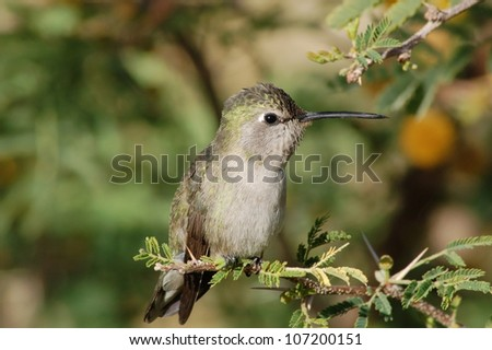 Female Costas Hummingbird perched on a mesquite branch in the Sonoran Desert - stock photo