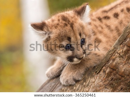 Female Cougar Kitten (Puma concolor) Afraid on Branch - captive animal