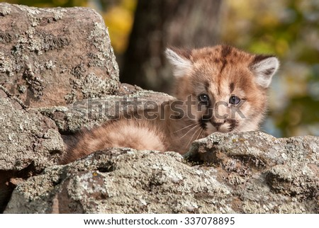 Female Cougar Kitten (Puma concolor) Hides in Rocks - captive animal