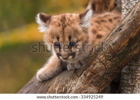 Female Cougar Kitten (Puma concolor) Sits in Tree - captive animal