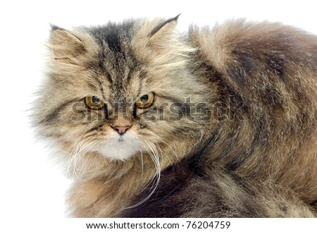 Female crossbreed of siberian and persian cat on a white background looking seriously. - stock photo