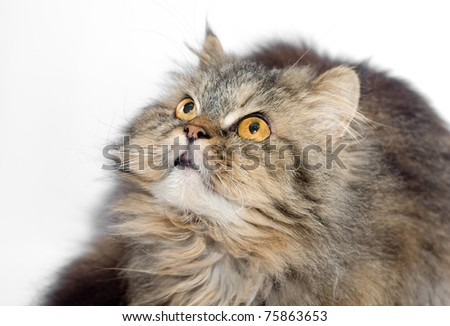Female crossbreed of siberian and persian cat on a white background looking upward for to catch some prey. - stock photo