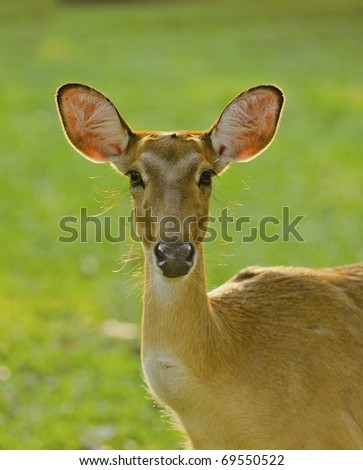 female deer on grass background - stock photo