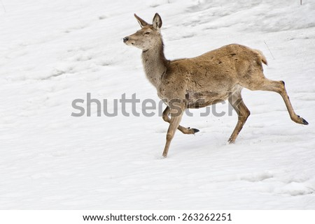 Female Deer portrait on the snow background
