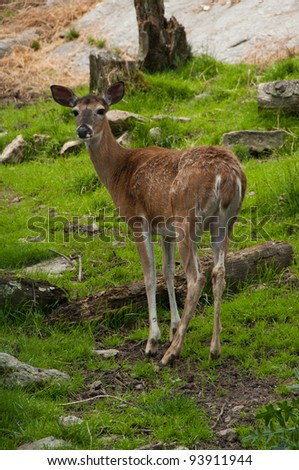 Female deer standing in the grass looking at camera - stock photo