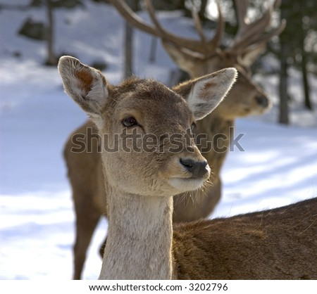 female deer with male deer in the background - stock photo