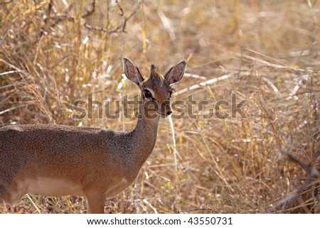 Female dik-dik caught unawares in long grass the Serengeti, Tanzania. The dik-dik is the smallest of the antelope species and often difficult to see in long grass - stock photo