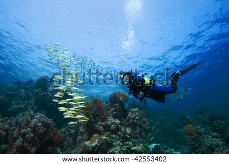 Female diver and Goatfish over a beautiful coral reef in the Red Sea, Egypt - stock photo