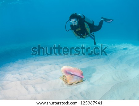 Female diver looking at a conch shell on a sandy seabed - stock photo
