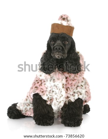 female dog - cocker spaniel wearing pink fur coat and matching hat on white background