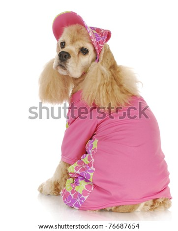 female dog - cute cocker spaniel wearing pink hat and shirt - 9 years old - stock photo