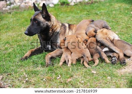 female dog of Belgian shepherds malinois  with puppies - stock photo
