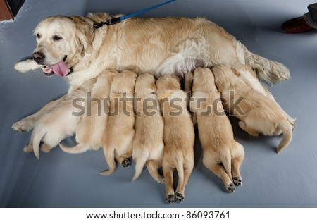 female dog of golden retriever with puppies - stock photo