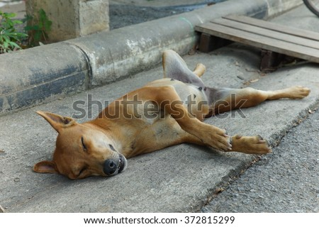 Female dog sleep up side down, spreading legs. - stock photo