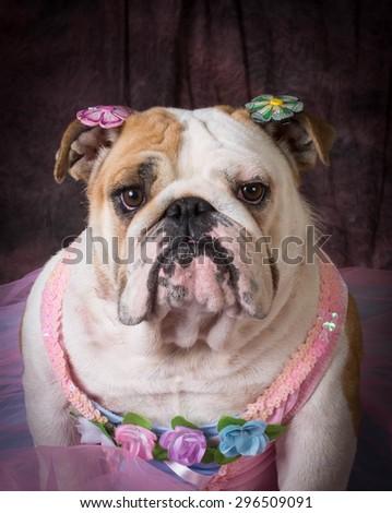 female dog wearing pink dress on purple background - stock photo