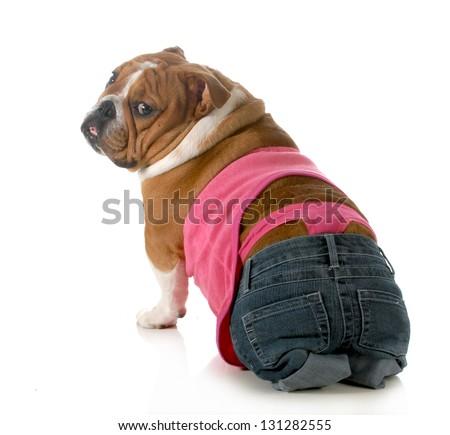 female dog wearing pink thong underwear isolated on white background - english bulldog - stock photo