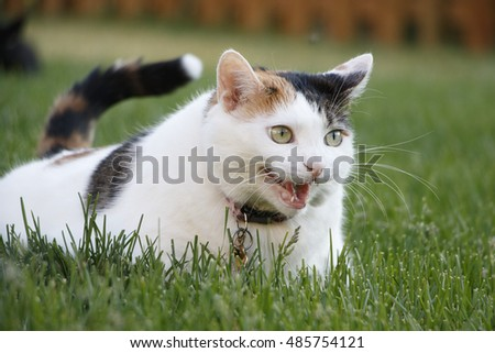 Female Domestic Short Hair Calico Pet Cat Laying in Green Grass in Backyard Meowing with Mouth Open, Narrow Depth of Field, Natural Light
