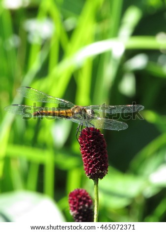 Female dragonfly, autumn darter(Sympetrum frequens) on the red flower(Great Burnet or Garden Burnet, Sanguisorba officinalis) in Japan.