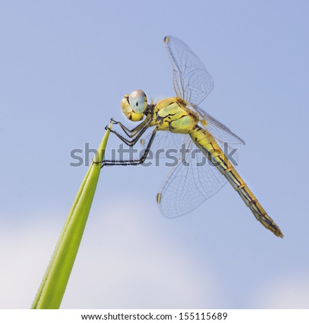 Female dragonfly on a palm leaf. Lined Hooktail (Paragomphus lineatus), from Gomphidae family, is a yellow dragonfly with black and brown markings, and bluish grey eyes - stock photo