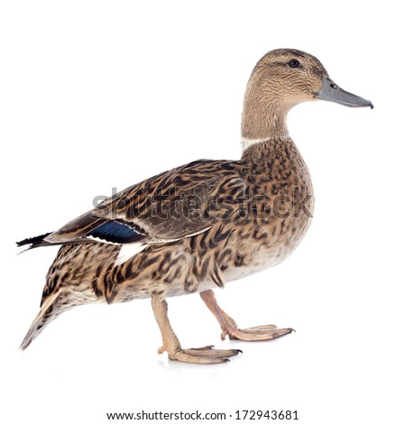 female duck in front of white background - stock photo