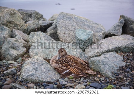 female duck in the stone nest near the water