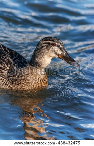 Female duck river pond water wave detail eye