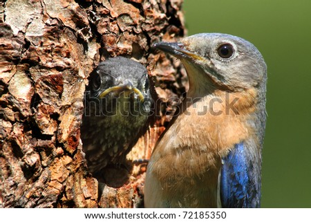 Female Eastern Bluebird (Sialia sialis) bringing food to a hungry baby - stock photo