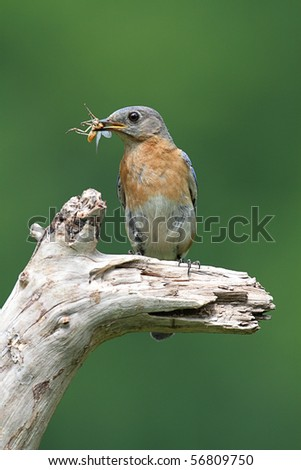 Female Eastern Bluebird (Sialia sialis) carrying food to a nest - stock photo