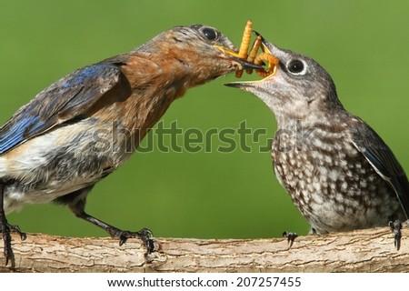 Female Eastern Bluebird (Sialia sialis) feeding a baby on a log with a green background - stock photo
