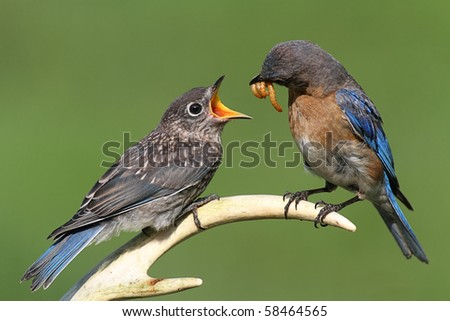 Female Eastern Bluebird (Sialia sialis) feeding a hungry baby on a deer antler - stock photo