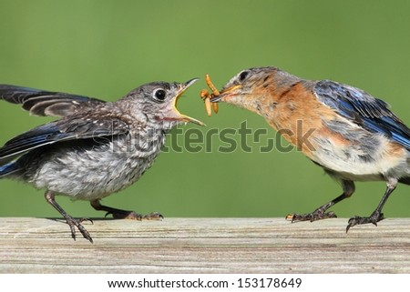 Female Eastern Bluebird (Sialia sialis) feeding her hungry baby - stock photo