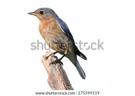 Female Eastern Bluebird (Sialia sialis) on a perch - Isolated on a white background - stock photo