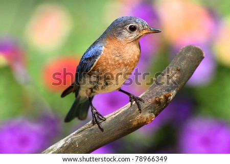 Female Eastern Bluebird (Sialia sialis) on a perch with a colorful background - stock photo