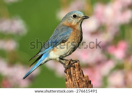 Female Eastern Bluebird (Sialia sialis) on a perch with flowers - stock photo